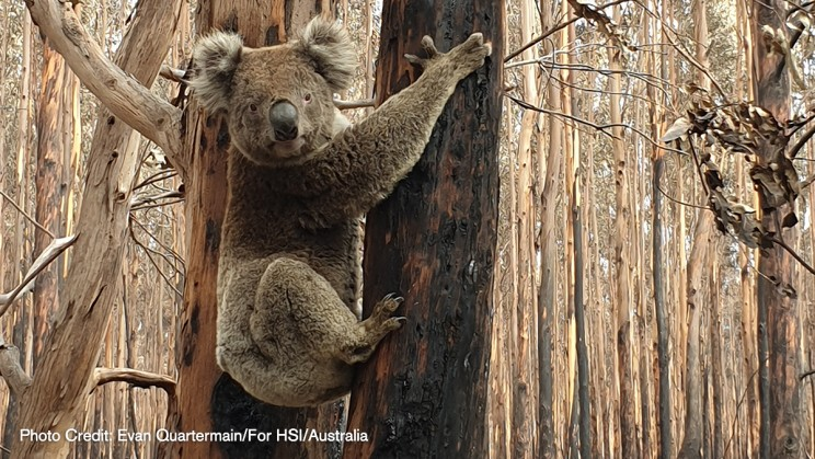 Help Humane Society International (HSI) Care for Animals Caught Up in the Australian Wildfires