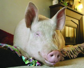 Some Kind of Wonder-Pig