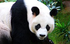 What's Black, White and Endangered?