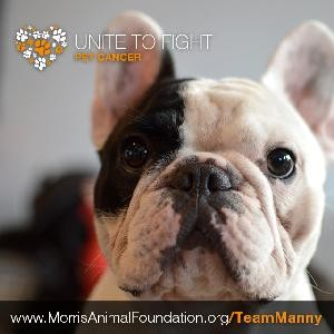 Manny, the Famous Frenchie, Joins the Fight Against Pet Cancer
